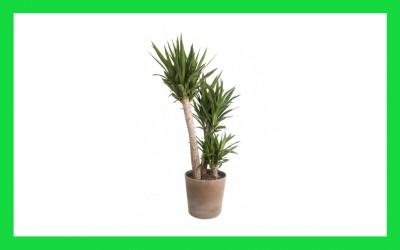Juka – drvo života
