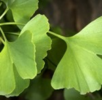 Ginkgo-biloba-leaf-Ginko-list