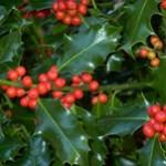 Ilex-Aquifolium-leaf-Bozikovina-list