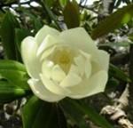 Magnolia-grandiflora-leaf-flower-Velikocvetna-Magnolija-list-cvet